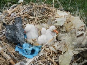Löffler-Küken im Nest mit Plastikmüll © Mellumrat e.V./Horstkotte