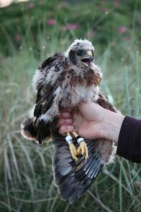 Kornweihen Weibchen 2011 bei der Beringung © Oberdiek
