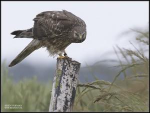 Kornweihen Weibchen 2014 als Brutvogel in den Niederlanden © Hofmann/www.birdfocus.nl