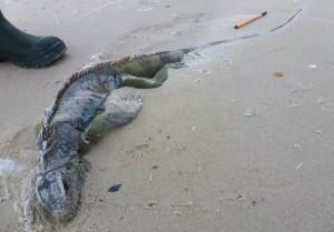 Grüner Leguan als Strandfund auf der Insel Mellum © Mellumrat/Schmidt