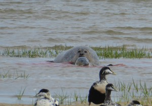 Seehund-Geburt auf Mellum. Die Fruchtblase ist noch vollständig geschlossen. © Mellumrat/Hirdes