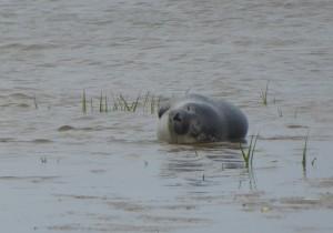 Seehund-Geburt auf Mellum. Satt und zufrieden ruht sich der junge Seehund aus. © Mellumrat/Hirdes