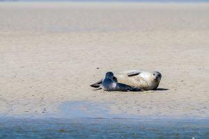 """Das Foto zeigt einen Seehund mit Jungtier im Wattenmeer. Foto """"Stock/ LKN.SH"""""""