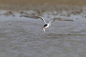Flussseeschwalbe, fischend© Mellumrat, Volker Lautenbach