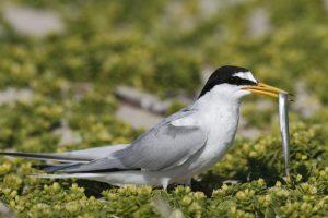 Zwergseeschwalbe, mit Beute © Mellumrat, Volker Lautenbach