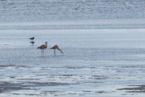 Flamingos auf Minsener Oog am 9.6.2019 Foto: Michael Hug/Mellumrat