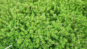 Nadelkraut (Crassula helmsii) Bildnachweis: NLPV