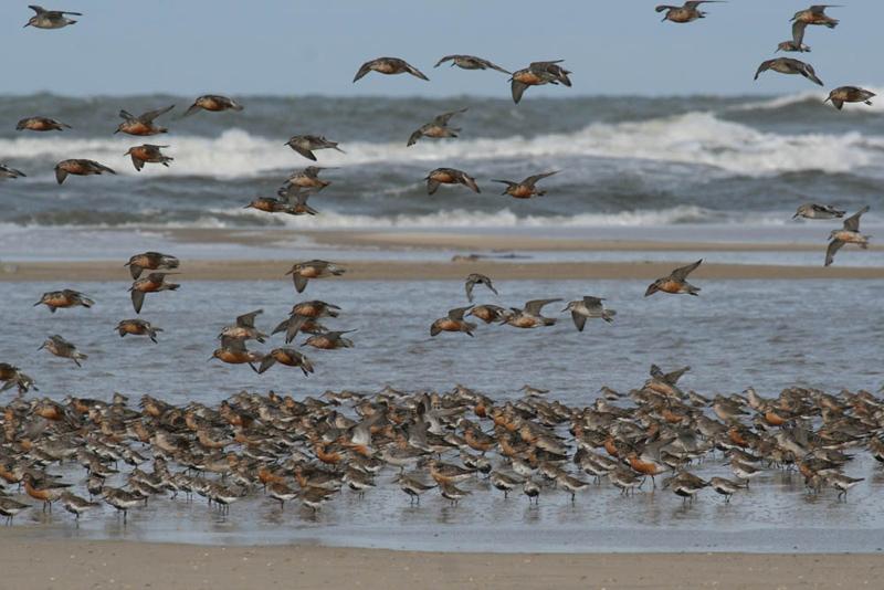 Vogelschwarm auf Wangerooge Copyright Nationalparkhaus Wangerooge