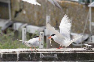 Balzritual der Flussseeschwalben, Foto: nlpv / Imke Zwoch