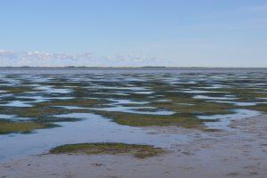 Seegraswiesen – hier das Zwergseegras Zostera noltei – sind ein Schlüssellebensraum in Meeresgebieten weltweit. Foto: Herlyn / NLWKN.