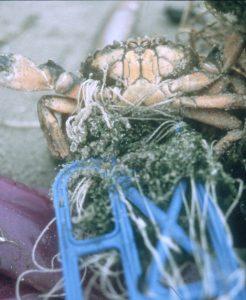 Krabbe, gefangen im Wirrwarr einer Kunststoffkordel / Foto: St. Wolff Mellumrat