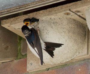Mehlschwalben bei der Versorgung der Küken Foto: Nationalparkhaus Wangerooge