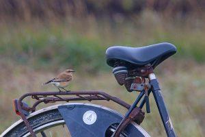 Steinschmätzer auf dem Fahrrad vom Mellumrat Foto: Lasse Heckroth